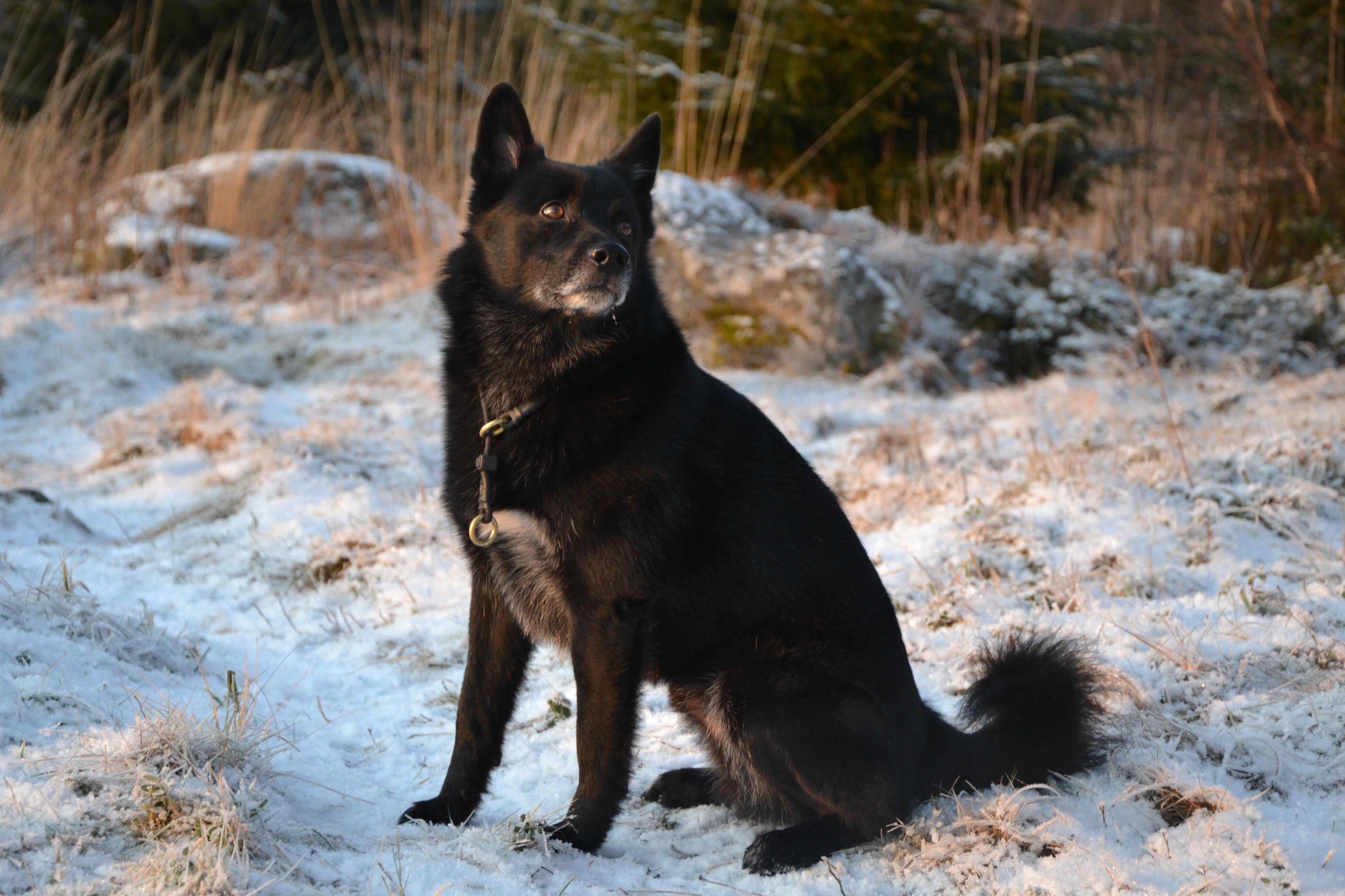 Norwegian Buhund Temperament